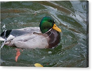 Duck Bathing Series 4 Canvas Print by Craig Hosterman