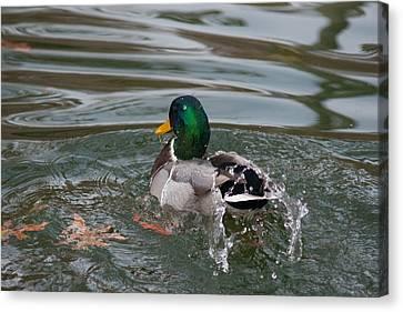 Duck Bathing Series 6 Canvas Print by Craig Hosterman
