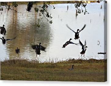 Duck Frenzy Canvas Print by Douglas Barnard