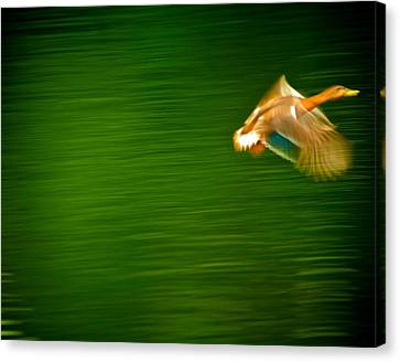 Duck In Motion Canvas Print