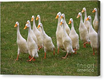 Duck March Canvas Print