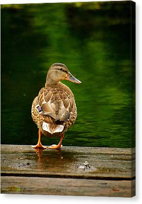 Duck On Dock Canvas Print