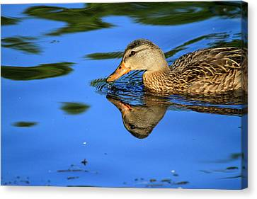 Duck Reflects Canvas Print by Karol Livote