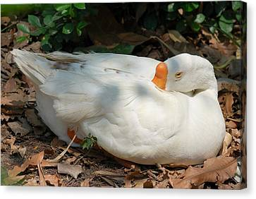 Canvas Print featuring the photograph Duck Resting by Fotosas Photography