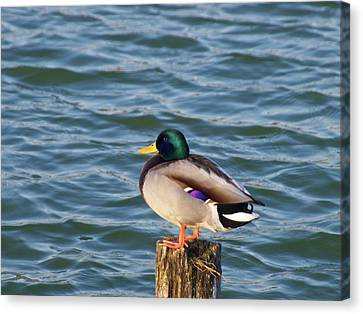 Duck Standing On Stake Canvas Print by Xstreephoto