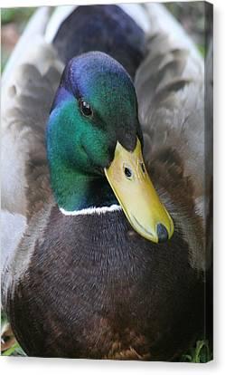 Duckie Canvas Print by Scott Brown