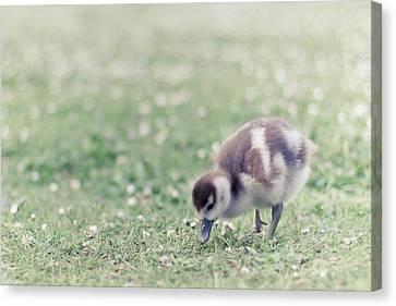 Duckling In Grass Field Canvas Print