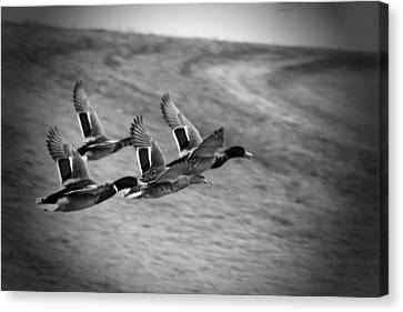 Ducks In Flight V2 Bw Canvas Print by Douglas Barnard
