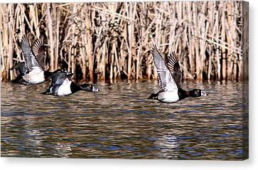 Ducks - Ring Neck - Hold Up Canvas Print by Travis Truelove