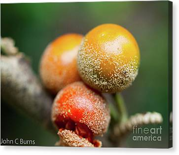 Canvas Print featuring the photograph Dusted Berries by John Burns