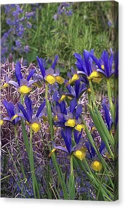 Dutch Iris (iris Xiphium) Canvas Print