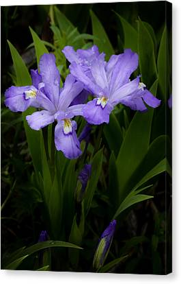Dwarf Crested Iris Canvas Print by Rob Travis