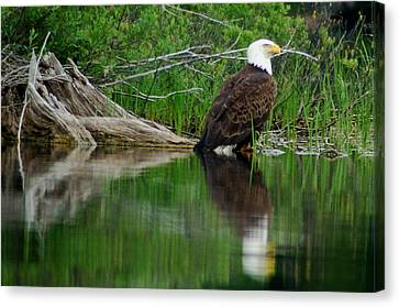 Eagle At Rest Canvas Print