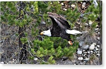 Eagle In Flight Canvas Print by Don Mann