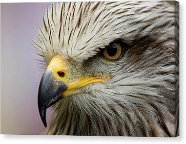 Eagle Canvas Print by Javier Balseiro