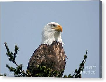 Canvas Print featuring the photograph Eagle  by Mitch Shindelbower