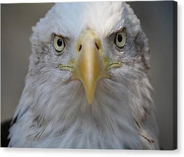 Eagle Canvas Print by Paulette Thomas