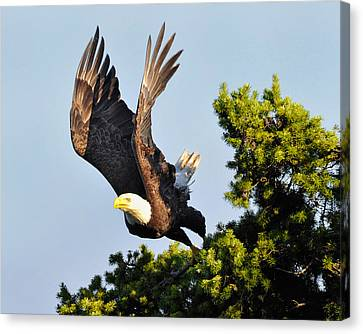 Eagle Takes Off Canvas Print by Sasse Photo