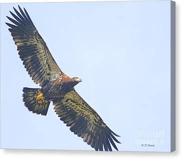 Eaglet 2012 Canvas Print by Deborah Benoit