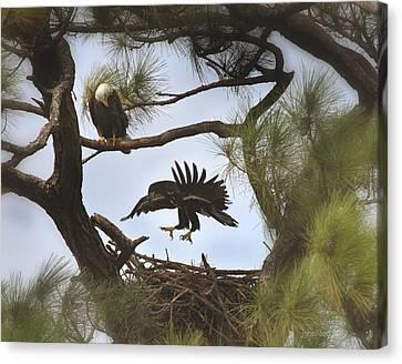 Eaglet First Flight Canvas Print by Joseph G Holland