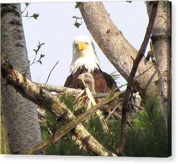 Eaglet Looking Out With Mother Bald Eagle Canvas Print by Mitch Spillane