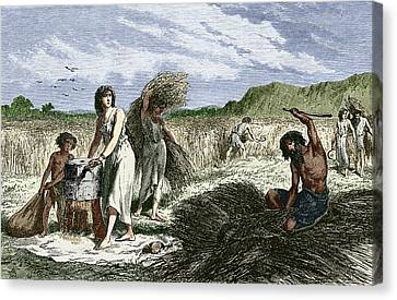 Early Humans Harvesting Crops Canvas Print by Sheila Terry