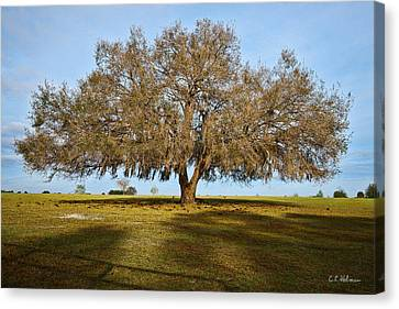 Early Morning Oak Canvas Print by Christopher Holmes
