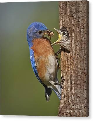 Eastern Bluebird Feeding Chick Canvas Print by Susan Candelario