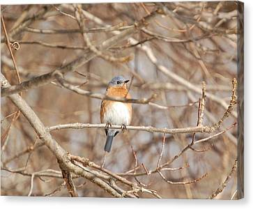 Canvas Print featuring the photograph Eastern Bluebird by Mary McAvoy