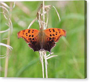 Canvas Print featuring the photograph Eastern Comma Butterfly by Penny Meyers