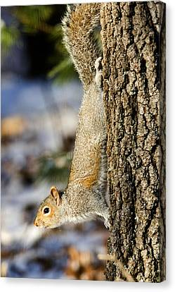 Eastern Gray Squirrel Sciurus Canvas Print by Tim Laman