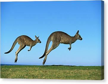 Eastern Grey Kangaroo Macropus Canvas Print by Jean-Paul Ferrero
