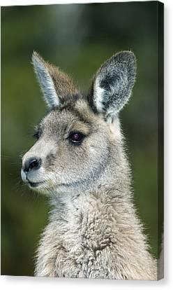 Eastern Grey Kangaroo Canvas Print by Tony Camacho