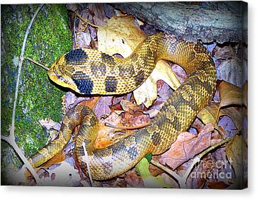 Eastern Hognose Snake Canvas Print by Kathy  White