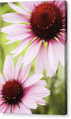 Eastern Purple Cone Flowers Canvas Print by Dhmig Photography