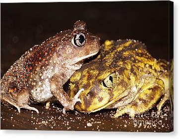 Eastern Spadefoot Toads Canvas Print by Lynda Dawson-Youngclaus
