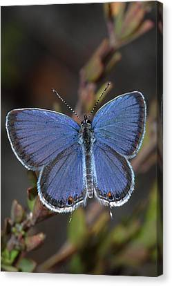 Eastern Tailed Blue Butterfly Canvas Print by Daniel Reed