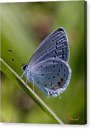 Eastern Tailed-blue Butterfly Din045 Canvas Print by Gerry Gantt