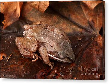 Eastern Wood Frog Hibernating Canvas Print by Ted Kinsman