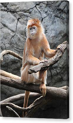 Ebony Langur Canvas Print by Mike Martin