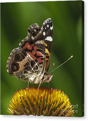 Echinacea Butterfly Meal Canvas Print by Darleen Stry