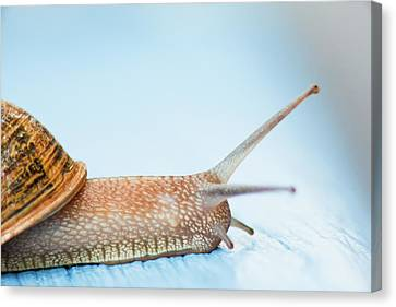 Edible Snail On  Wooden Ground Canvas Print by Guido Mieth