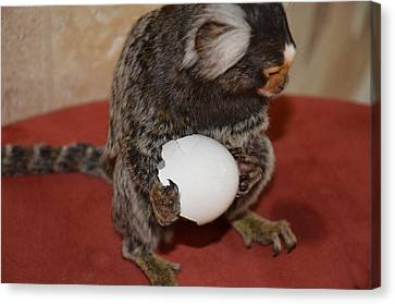 Eggs  Chewy The Marmoset Canvas Print by Barry R Jones Jr