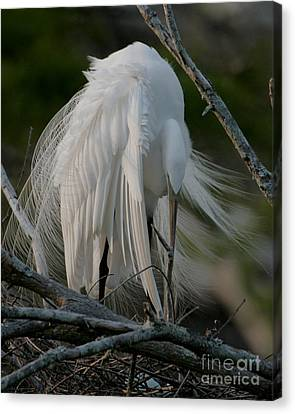 Canvas Print featuring the photograph Egret - Mother And Eggs  by Luana K Perez