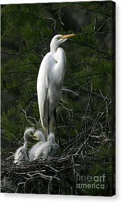 Canvas Print featuring the photograph Egret - Proud Mother by Luana K Perez