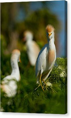 Egret And Company Canvas Print by Andres Leon