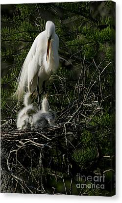 Canvas Print featuring the photograph Egret Bird - Mother Egret And Babies by Luana K Perez