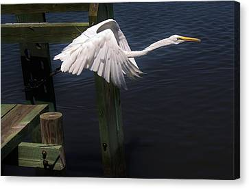 Egret Coming Off The Block Canvas Print by Paulette Thomas