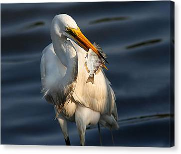 Egret Fishing Canvas Print by Phil Lanoue