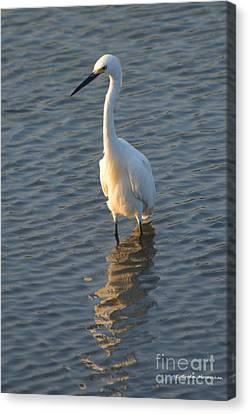 Egret In Marsh Canvas Print